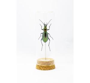 Carabus splendens (femelle)