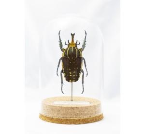 Mecynorrhina polyphemus...