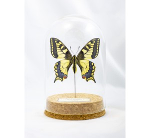 Papilio machaon (Femelle)