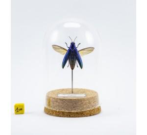 Chrysochroa fulminans (bleu)