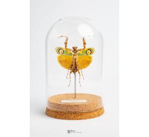 Chlidonoptera lestoni...
